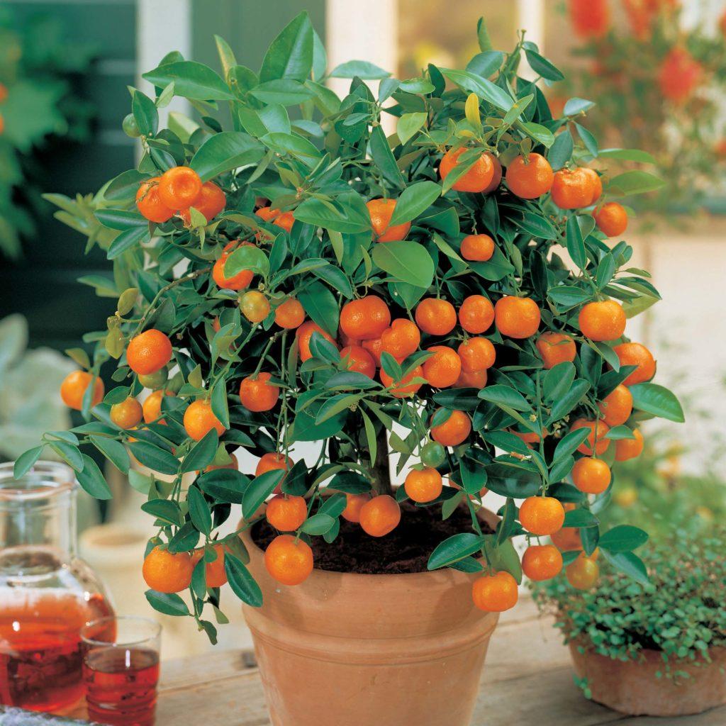 7 rboles frutales que puedes cultivar sin necesidad de for Arboles frutales en maceta