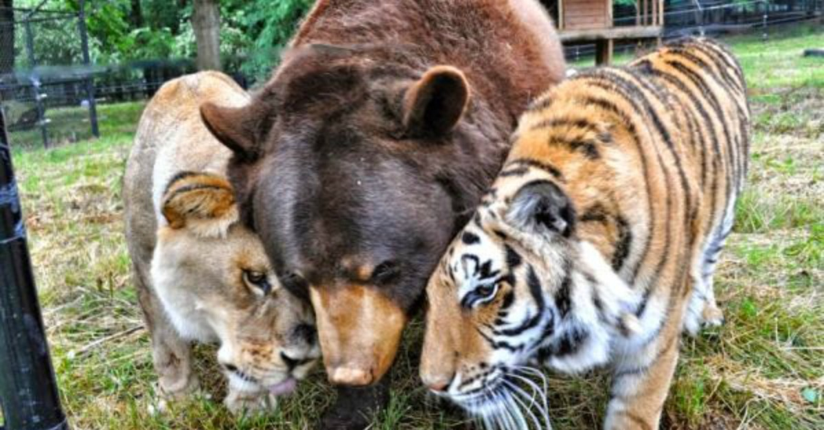 oso tigre y leon mejores amigos portada